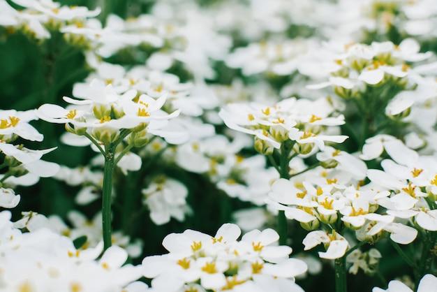Белые цветы иберис в саду