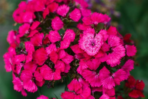 クローズアップでピンクのトルコのカーネーションの花
