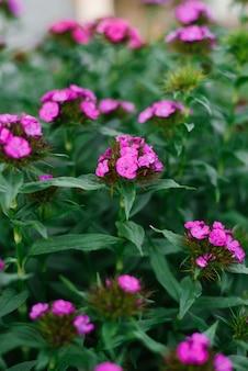 夏の庭でトルコのカーネーションのピンクの花