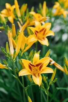 Красивые желтые цветы лилейника в саду летом