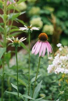 Летом в саду цветут красивые розовые и фиолетовые цветы эхинацеи и белые ромашки
