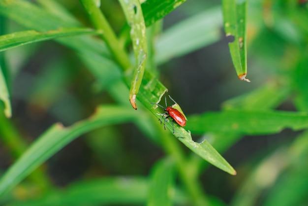 Красный пожарный жук на листьях лилии.