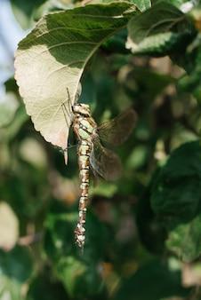 Зеленая стрекоза в дикой природе сидит на листьях дерева