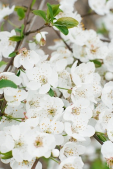 Белая груша цветет сад конца-вверх весной. выборочный фокус. весеннее цветение