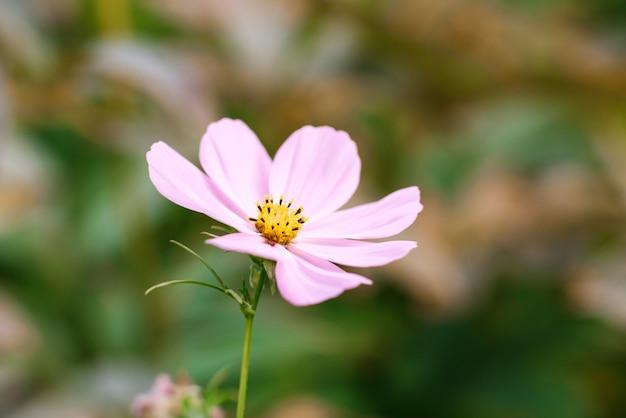 Розовая космея цветок крупным планом в летнем саду