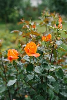 夏の庭でオレンジ色の花マリーゴールドの花の背景