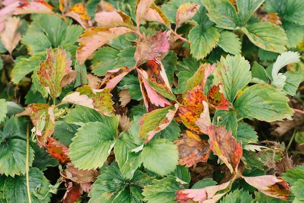 肥料を使わずに有機栽培のイチゴを栽培。イチゴの葉、トップビュー。セレクティブフォーカス。イチゴ病