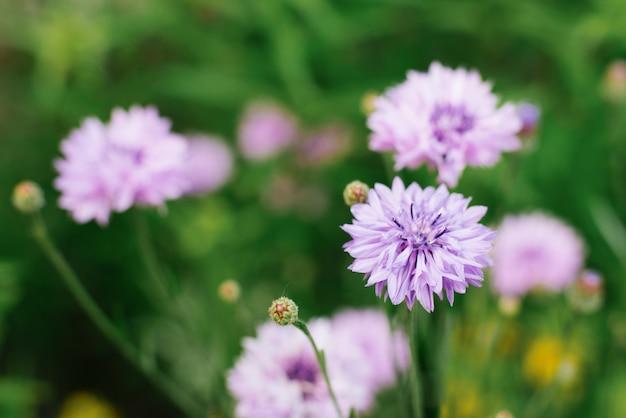 緑の草のライラックの花ヤグルマギクのクローズアップ