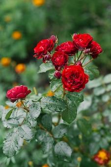 Красные бордовые мини розы в саду цветут