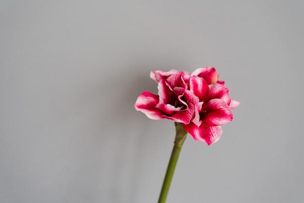 Розовый цветок на сером фоне