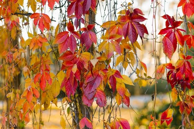 枝に野生ブドウの赤オレンジ紅葉