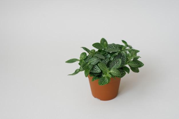 Комнатное растение фиттония темно-зеленое с белыми прожилками в коричневом горшке на белом фоне. копировать пространство