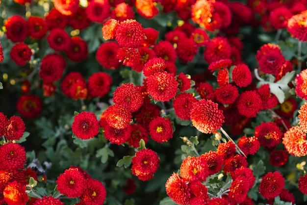 Красные осенние хризантемы в саду цветут, вид сверху