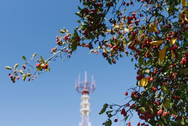 テレビ塔の背景に赤いガマズミの果実