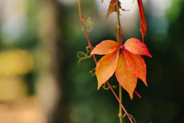 枝に野生のブドウのオレンジ色の秋の葉