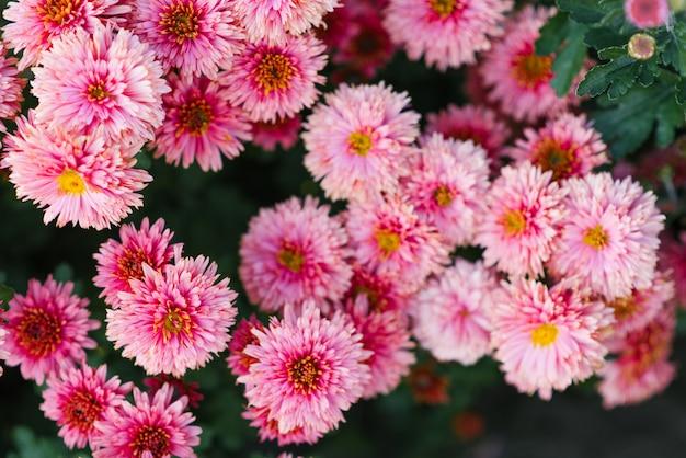 秋の庭、選択と集中にピンクの菊の花が咲く