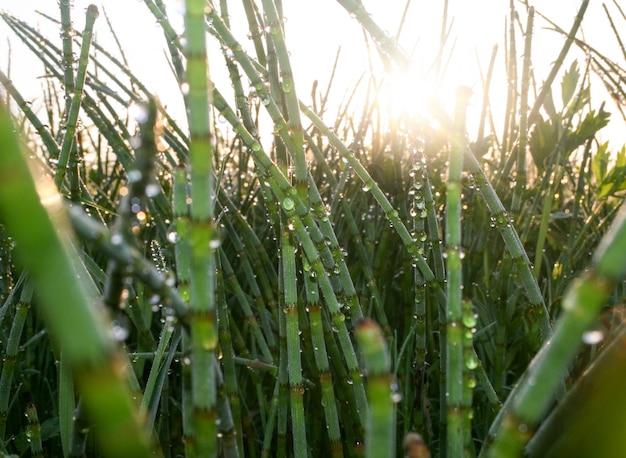 夜明けの太陽は、露のしずくで覆われた牧草のスギナの茂みを照らします。