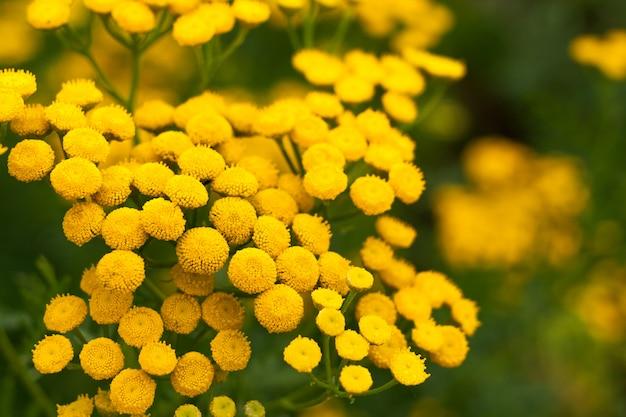 タンジーの黄色の花と夏の背景。