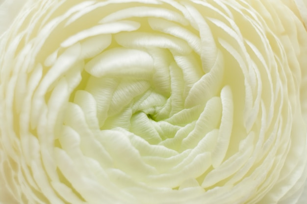 背景としてラナンキュラスのマクロ白い花。