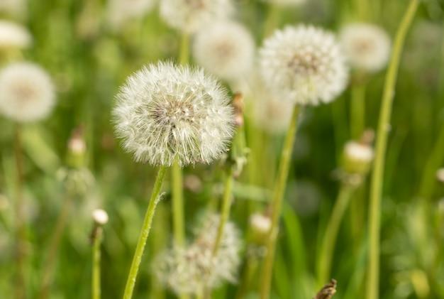 緑の夏の牧草地にクローズアップの白いふわふわタンポポの花。