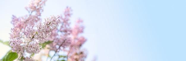 青い空を背景にそっと太陽に照らされたライラックの木の枝。ライラックの花の美しい開花クローズアップデザイン。イースターの境界線。テキストのスペースをコピーします。