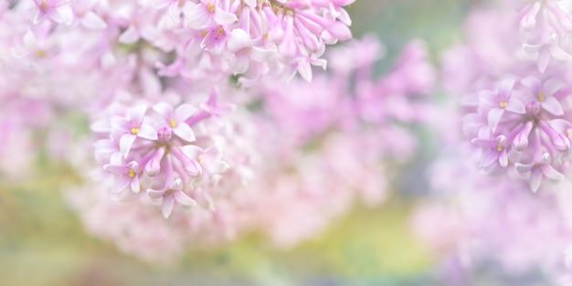 美しいぼやけたライラック色の花の背景。ぼやけたライラックの枝のクローズアップ。