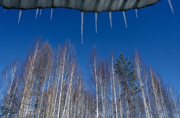 Деревья и сосульки на голубом небе.