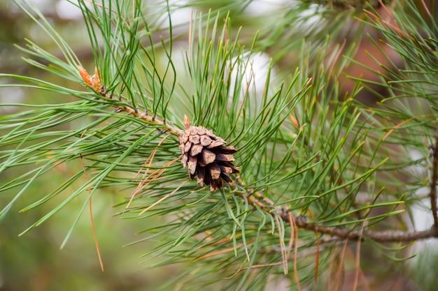 古い松ぼっくりは緑の枝に生えています。