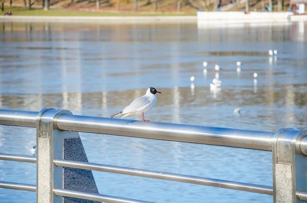 Чайка сидит на берегу реки свислочь в минске