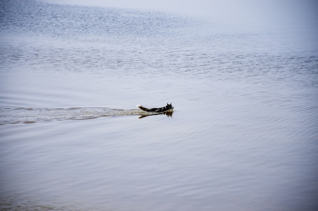 Собака породы хаски плывет по реке.