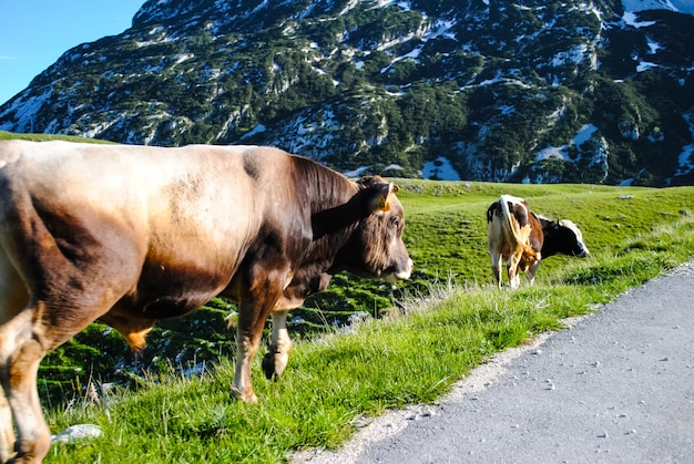 モンテネグロの北、道路上の動物
