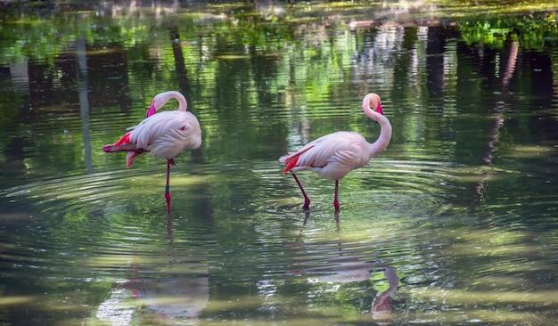 ピンクのフラミンゴは池で餌を探しています。