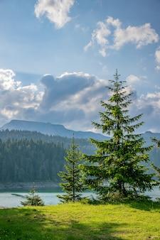 明るい緑のトウヒは、山の湖のほとりで育ちます。