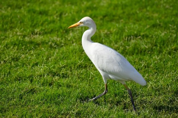 緑の牧草地にエジプトの白い鳥