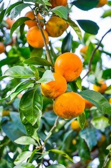 バトゥミでは、木は美しいみかんを育てます。