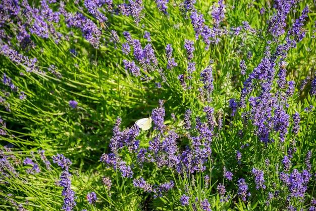 Белая бабочка и трудолюбивая пчела опыляют цветки лаванды.