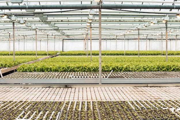 苗から育つレタスのある巨大な温室