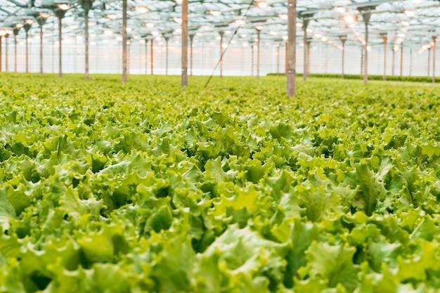 Листья зеленого салата в теплице. промышленное овощеводство