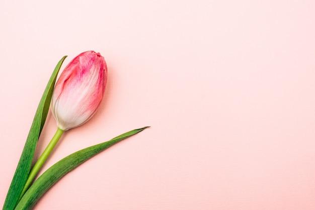 Тюльпан на розовом фоне. один цветок на пастельном фоне.