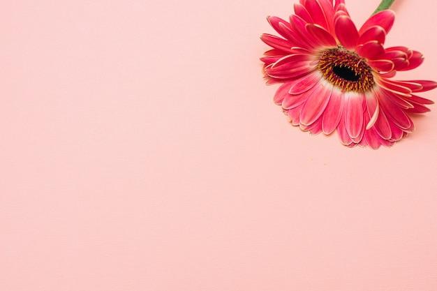 Гербер на розовом фоне. один цветок на пастельном фоне.