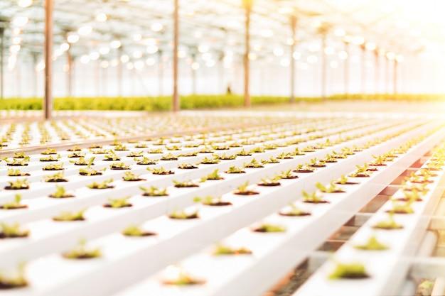 美しい大きな明るい温室。多数のレタスの苗。