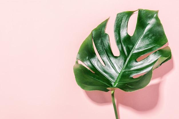 Монстера зеленый лист на розовом