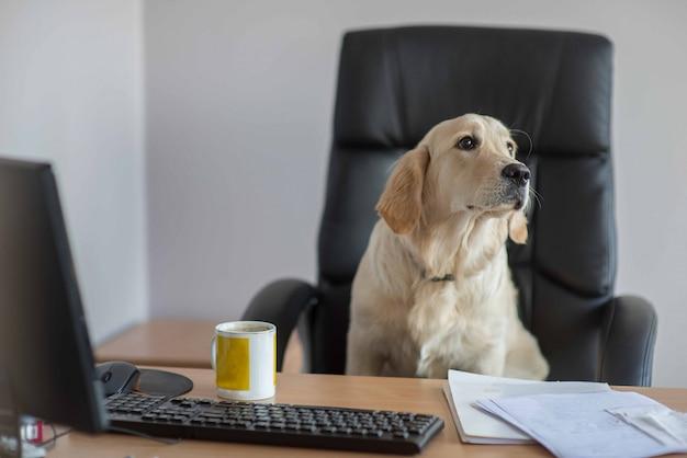犬のゴールデン・リトリーバーがオフィスで働いています。