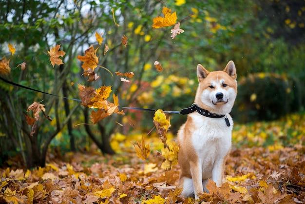 秋の葉公園で座っている秋田犬