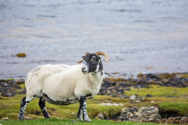 Агнец в шотландии
