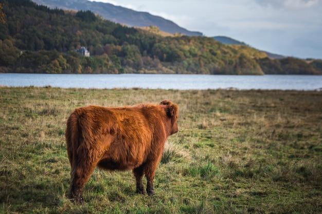 景色を楽しみながらスコットランドのハイランド牛