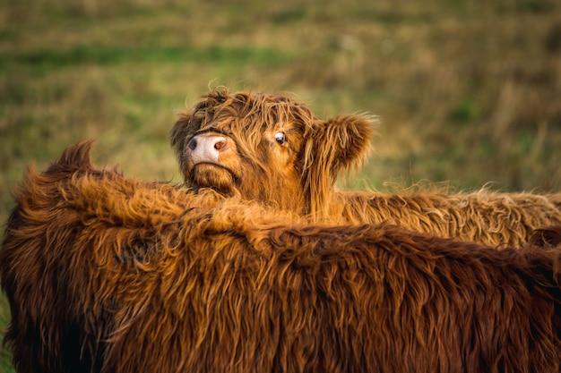 面白いスコットランドのハイランド牛