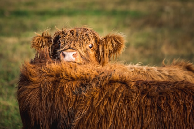 Симпатичная шотландская горная корова