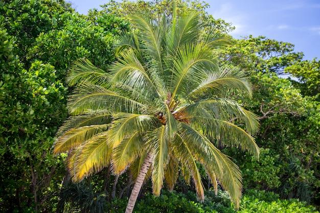 タイの美しいヤシの木