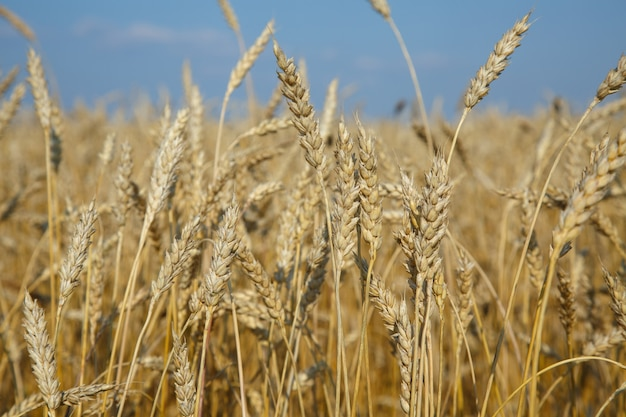 黄金の小麦の耳がクローズアップ。